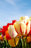 Vibrant Tulips. Bright red and yellow tulips in a row in spring royalty free stock photography