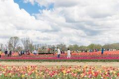 Vibrant Tulips on a Farm was taken while visiting Holland Ridge Farm stock photos