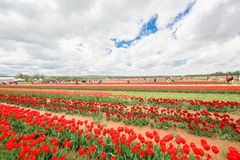 Vibrant Tulips on a Farm was taken while visiting Holland Ridge Farm royalty free stock photo
