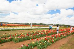 Vibrant Tulips on a Farm was taken while visiting Holland Ridge Farm stock photography