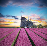 Vibrant tulips field with Dutch windmill. Netherlands. Beautiful cloudy sky Royalty Free Stock Images