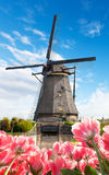 Vibrant tulips field with Dutch windmill. Netherlands. Beautiful cloudy sky Stock Photos