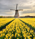 Vibrant tulips field with Dutch windmill. Netherlands. Beautiful sunset sky Stock Photo