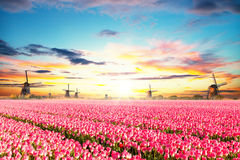 Vibrant tulips field with Dutch windmills Royalty Free Stock Photos