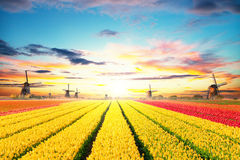 Vibrant tulips field with Dutch windmills Stock Photos
