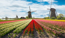 Vibrant tulips field with Dutch windmills Stock Images