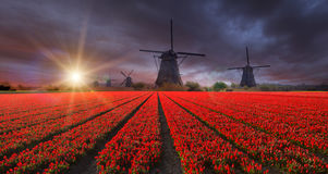 Vibrant tulips field with Dutch windmills Stock Photography