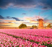 Vibrant Tulips Field With Dutch Windmill Royalty Free Stock Photo