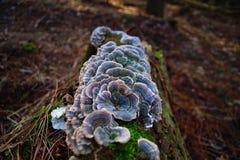 Vibrant Turkey Tail Mushrooms