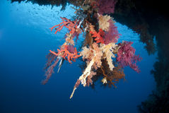 Vibrant Underwater Tropical Coral Reef Scene. Royalty Free Stock Image