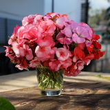 Vase of flower, pink geranium bouquet Stock Image