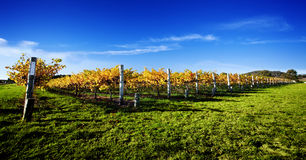 Vibrant Vineyard Stock Photo
