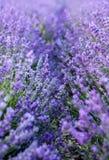 Vibrant violet lavender field background royalty free stock image