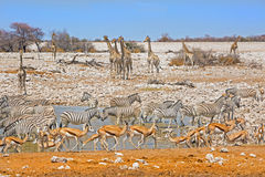 A Vibrant waterhole In Etosha Royalty Free Stock Image
