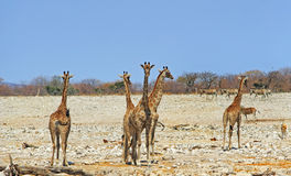 A Vibrant waterhole In Etosha Royalty Free Stock Images
