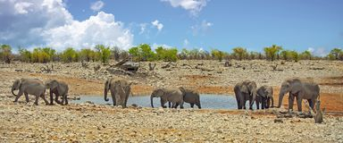 Vibrant waterhole in Etosha with a herd of elephants. Panorama image of a large herd of elephants at a waterhole with a nice blue cloudy sky in Etosha National Royalty Free Stock Images