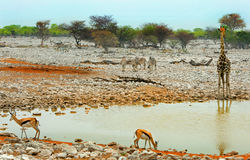 A vibrant waterhole in Etosha national park Stock Image