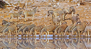 A Vibrant waterhole full of Zebras drinking Royalty Free Stock Image