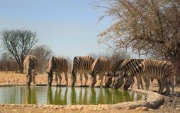 A Vibrant waterhole full of Zebras drinking Stock Photos
