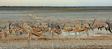 A vibrant waterhole with Gemsbok Oryx and springbok Royalty Free Stock Images