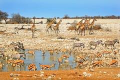 A Vibrant waterhole with Giraffe, Zebra, Kudu Royalty Free Stock Images