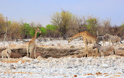 A vibrant waterhole with Giraffe, Zebra, Kudu Royalty Free Stock Photography