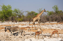 A vibrant waterhole with Giraffe, Zebra and Springbok Stock Images