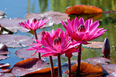 Vibrant Waterlilies Royalty Free Stock Images