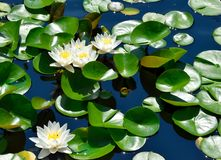 Beautiful White Water lily flowers background Stock Photo