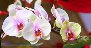 Vibrant white and pink orchids Stock Photography