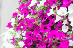 Vibrant white and pink petunia - surfinia flowers