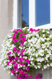 Vibrant white and pink petunia - surfinia flowers Royalty Free Stock Photo