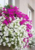Vibrant white and pink petunia - surfinia flowers Stock Images