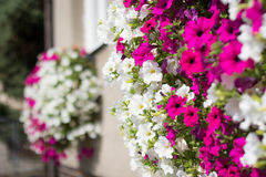 Vibrant white and pink petunia - surfinia flowers Stock Photo