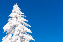 Vibrant winter vacation background with pine tree covered by heavy snow and blue sky Stock Images