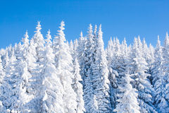 Vibrant winter vacation background with pine trees covered by heavy snow. Against blue sky with copy space Stock Images