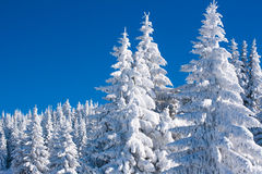 Vibrant winter vacation background with pine trees covered by heavy snow Stock Photography