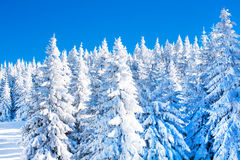 Vibrant winter vacation background with pine trees covered by heavy snow Stock Photos