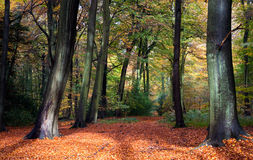 Vibrant woodland scene in autumn. A vibrant woodland scene in autumn in Oxfordshire, England. Carpet of orange leaves, with warm morning light Stock Image