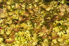 Vibrant yellow acer leaves. Vibrant yellow acer foliage pattern full frame Stock Photography