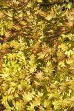 Vibrant yellow acer leaves. Vibrant yellow acer foliage pattern full frame Royalty Free Stock Photos