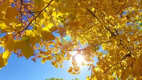 Sunlight shinning through vibrant yellow autumn leaves in the wind