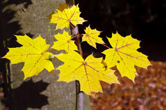 Vibrant yellow autumn maple leaves. In sunlight Royalty Free Stock Photography