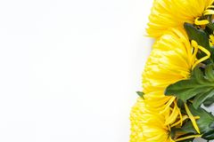 Vibrant yellow chrysanthemums on white background. Flat lay. Horizontal. Right corner location. Mockup with copy space. royalty free stock photos