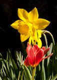 Vibrant yellow daffodil in front of black background Stock Photo