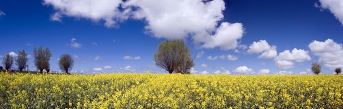 Vibrant Yellow Field Royalty Free Stock Photography