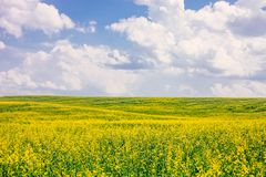 Field of flowering rape against blue sky with clouds. Natural landscape royalty free stock image