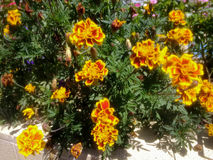Vibrant yellow flowers with some flower buds. Yellow flowers contrasts with green leaves Royalty Free Stock Images
