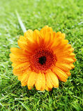 Vibrant yellow gerbera diasy Royalty Free Stock Image