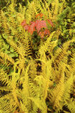 Vibrant yellow hayscented ferns with red maple leaves, northern Stock Photos